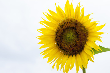 Nature Beautiful of big flower Sunflower under clear sky.