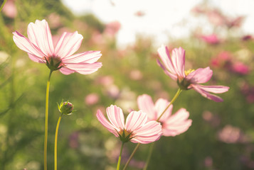 Pink cosmos flowers blooming in the garden