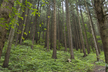 Trees deep in the forest, a look at the trunks. Grass, moss and ferns. Seven Ladders Canyon, Canionul Sapte Scari, Piatra Mare Mountains, Brasov, Romanian