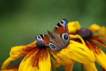 Butterfly peacock eye, sitting on the rudbeckie