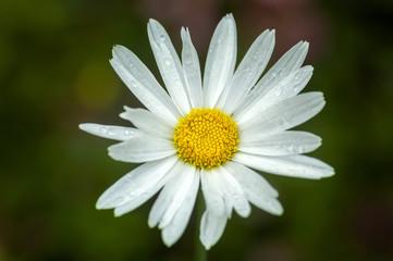 Macro photography of chamomile flower