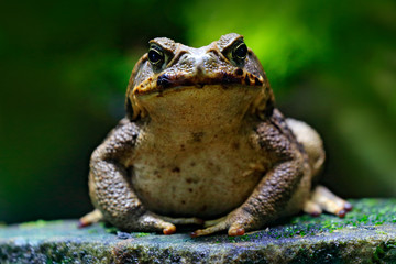 Foto op Plexiglas Kikker Cane toad, Rhinella marina, big frog from Costa Rica. Face portrait of large amphibian in the nature habitat. Animal in the tropic forest. Wildlife scene from nature.