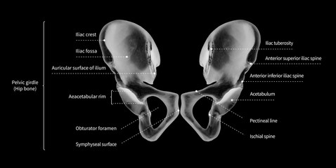 Infographic diagram of human hip bone or pelvic girdle anatomy system anterior view- 3D- medical illustration- human anatomy- medical diagram- educational concept- black and white x-ray color film