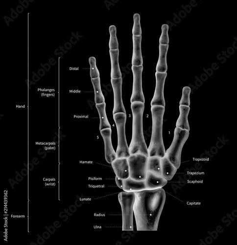 500_F_214439362_wd5xlkyZ3R8V241NgWGM9ltXnYRFseif infographic diagram of human hand bone anatomy system anterior view