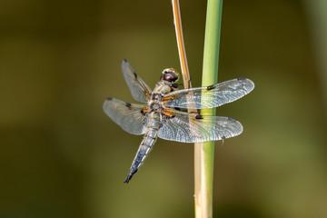 große Libelle an einem Stengel - Makroaufnahme