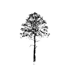 Pine tree. Black line drawing Isolated on white Background. Hand drawnvector illustration. Pencil sketch.