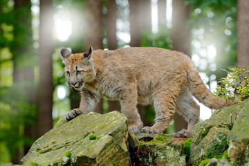 Puma concolor, known as the mountain lion, panther, in green vegetation, Mexico. Wildlife scene from nature. Dangerous Cougar sitting in the green forest with rock, beautiful back light.