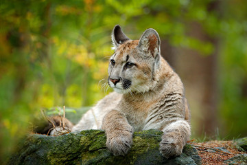 Photo sur Aluminium Puma Wild danger animal in green vegetation. Big cat Cougar, Puma concolor, hidden portrait of dangerous animal with stone, USA. Wildlife scene from nature.