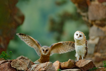 Pair of owls on the stone wall. Two Barn owl, Tyto alba, with nice wings flying above stone wall, light bird landing in the old castle, animal in the urban habitat, United Kingdom. Wall mural