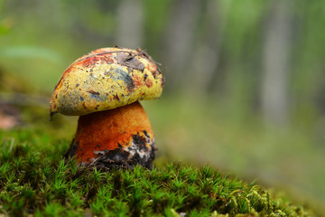 Imperator luteocupreus mushroom