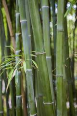 Fotobehang Bamboo Forêt de bambous en France