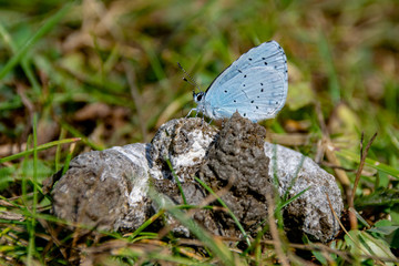 Holly Blue (Celastrina argiolus) feeding on duck faeces
