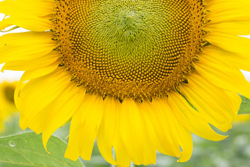 Sunflower blooming