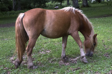 Detail of a horse light brown while is grazing in the meadows. These pack animals eat grass in the shade of the trees.