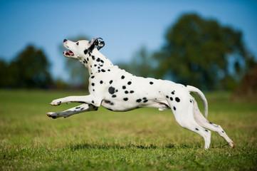 Rennender Dalmatiner sieht nach oben