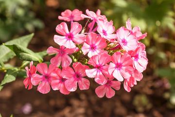 Verbena flowers beautiful fresh bright