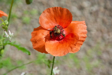 Orange poppy on beige background with three feeding insects