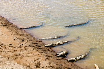 American crocodiles resting under the sun in Tarcoles River, Costa Rica.  Photo taken over the Crocodile Bridge in Carara National Park, Costa Rica.