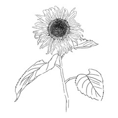 isolated drawing sunflower illustration, nature flower vector