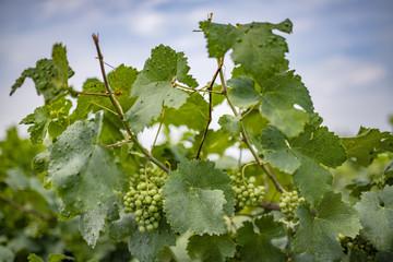 Viti, tralci e grappoli d'uva bianca, pronte per la vendemmia