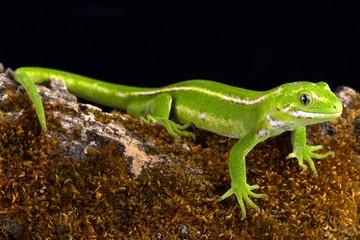 Jewelled gecko (Naultinus gemmeus)