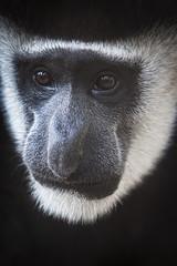 Portrait of a Lhoest monkey