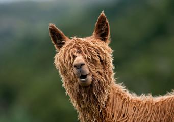 In de dag Lama Alpaca