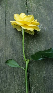 Long stem yellow rose isolated on weathered wooden background