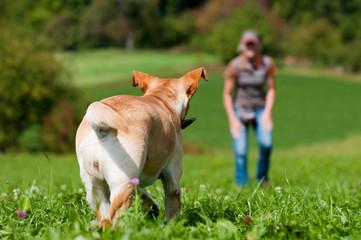 Labrador Retriever wird gerufen