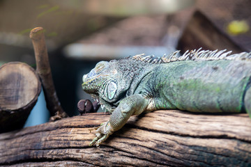Green Iguana sleeping on branch in zoo ,Thailand