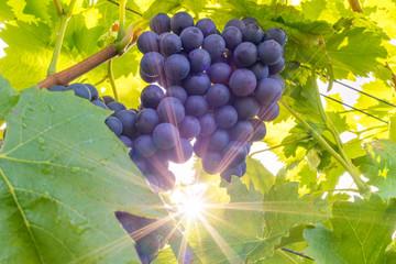 Rote Weintrauben am Rebstock im Herbst