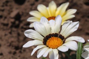 osteospernum flower in the garden
