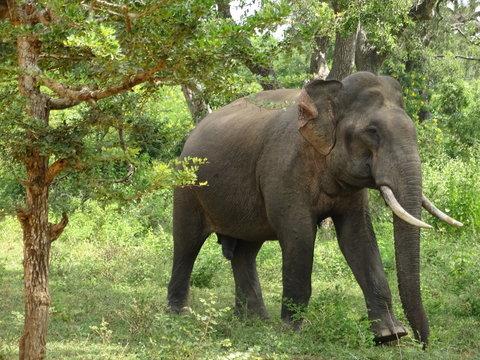 Elephant Sri Lanka Tissa