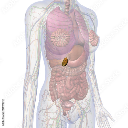 Gallbladder and Abdomen of Female Internal Anatomy\