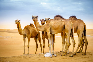 Foto op Canvas Kameel Wild camels in the desert