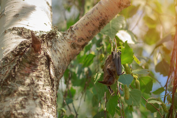 A small bat on birch branches
