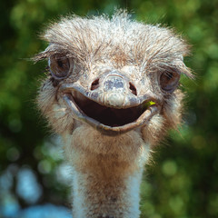 Smiling ostrich close-up. Funny bird in the open air