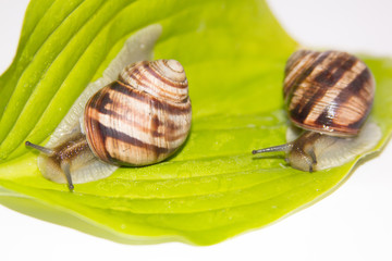 Snails isolated on white. Snails on the green leaf. Beauty cosmetic care. Crawling