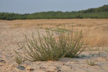 Mały krzaczek na Pustyni Błędowskiej, w tle piaszczysta łach, sucha rawa zarastająća pustynię, nieostre, na horyzoncie zielony las