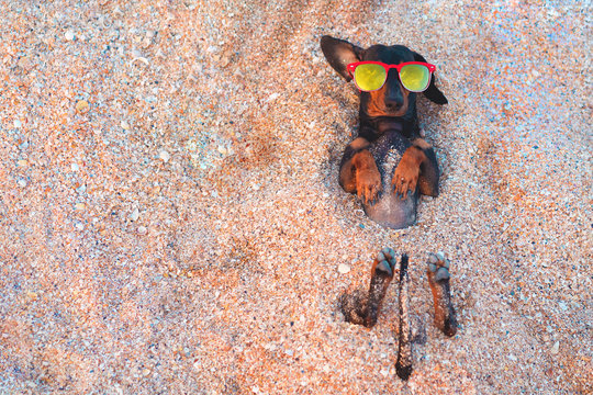 Top view  cute dog of dachshund, black and tan, buried in the sand at the beach sea on summer vacation holidays, wearing red sunglasses, turned-out ear. Copy space