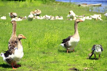 Geese on meadow near river. Farm birds