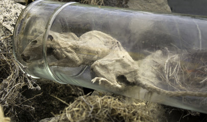 Dead rat in a jar