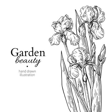 Iris bouquet. Flower and leaves drawing. Vector hand drawn engraved floral set