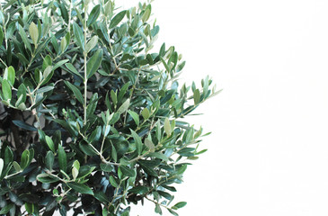 Botanical styled stock image, web banner Closeup of green olive tree leaves and branches, Olea europaea over white wall. Empty copy space for text.