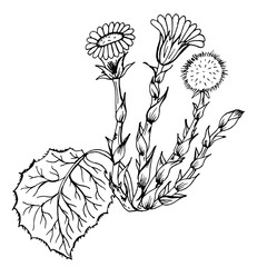 Doodle Tussilago medicinal plant black outline on white background