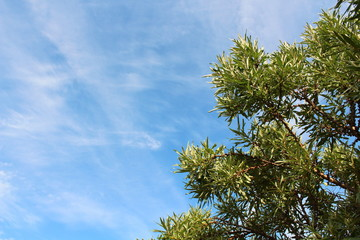 A beautiful blue sky with cirrus clouds and branches of sea-buckthorn. Close-up. Background. Texture.
