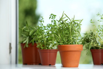 Pots with fresh rosemary on window sill