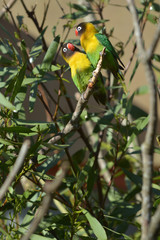 Lovebird Birds looking at each other sitting on a tree branch