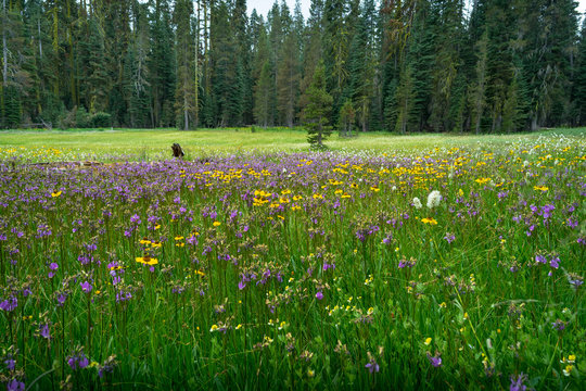 Summit Meadow, a Colorful Alpine Field of Flowers in Yosemite