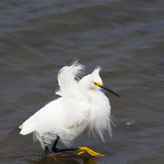 Snowy Egret with ruffled feathers wading in the water